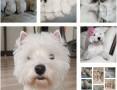 'West Highland White Terrier FCI szczenięta rodowodowe