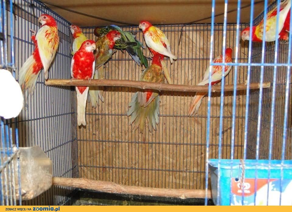 Papuga rozella białolica