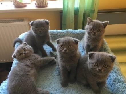 Kocieta brytyjskie koteczki