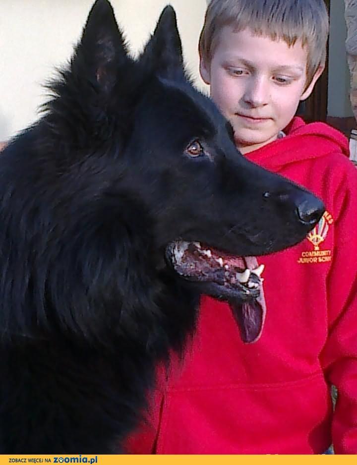 Owczarek Niemiecki -Staroniemiecki Czarny Długowłosy