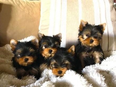 Yorkshire terrier Mini Miniaturka