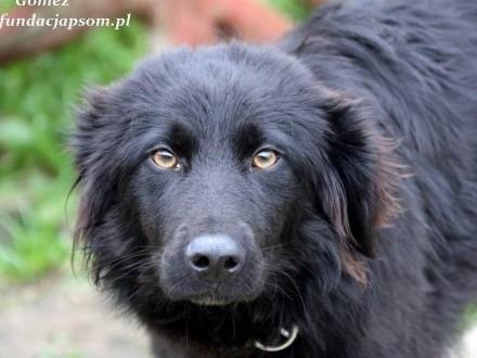 Gomez - długowłosy  czarny psiak