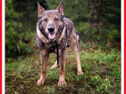 Staruszek owczarek niem ułożony pies DŻEKI łagodny czy ktoś się ulituje   śląskie Katowice