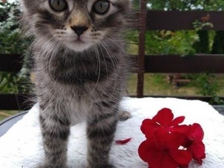 Kociaki syberyjskie