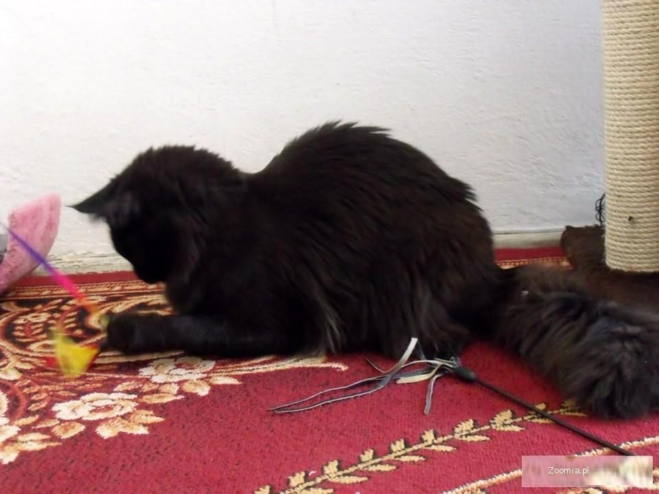 Rodowodowa piękna czarna kotka Maine Coon