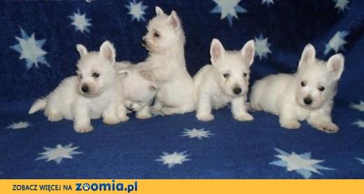 west higland white terrier,  małopolskie Tarnów
