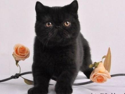 Czarne kocięta egzotyczne rodowód FPL FIFE