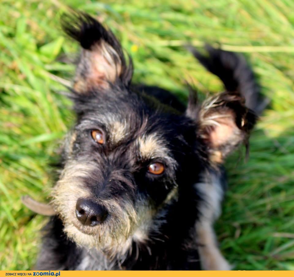 młody pies - Czoko