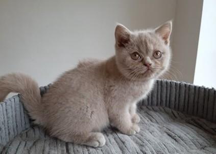Kocięta Brytyjskie ! Odbiór 20 listopada