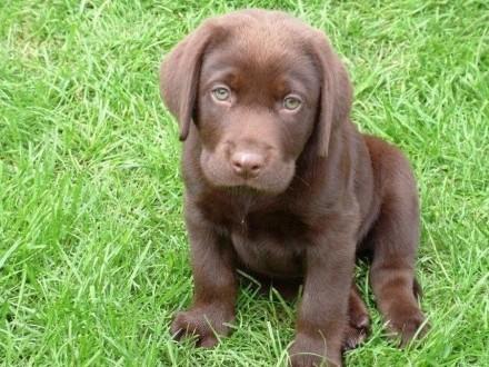 Labraddor  labradory  czekoladowy piesek FCI
