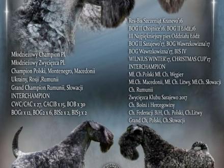 Kerry Blue Terrier zapowiedź miotu