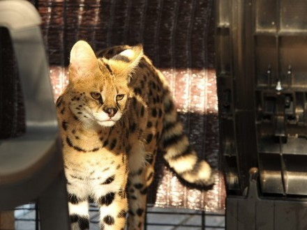 Serwal afrykański  serval  Leptailurus serval para gotowa do reprodukcji