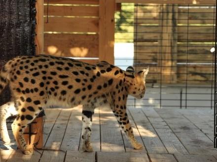 Serwal afrykański, serval, Leptailurus serval para gotowa do reprodukcji.