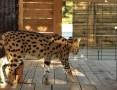 'Serwal afrykański, serval, Leptailurus serval para gotowa do reprodukcji.