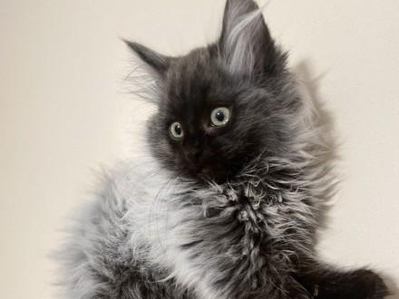 Kot norweski leśny dymny jedyny taki