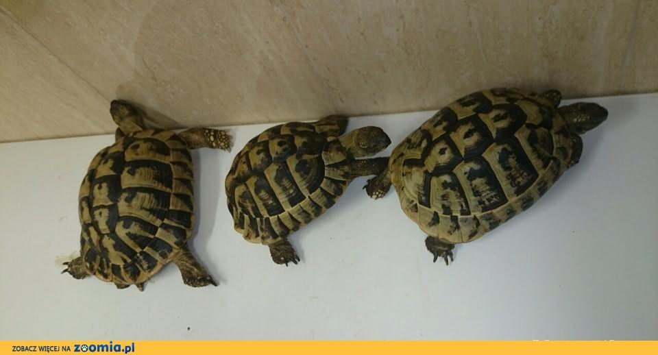 żółwie greckie,dorosłe