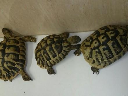 żółwie greckie dorosłe