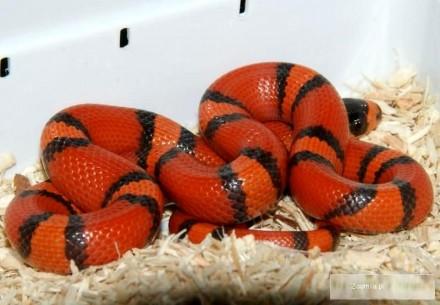 Wąż mleczny Lropeltis triangulum hondurensis