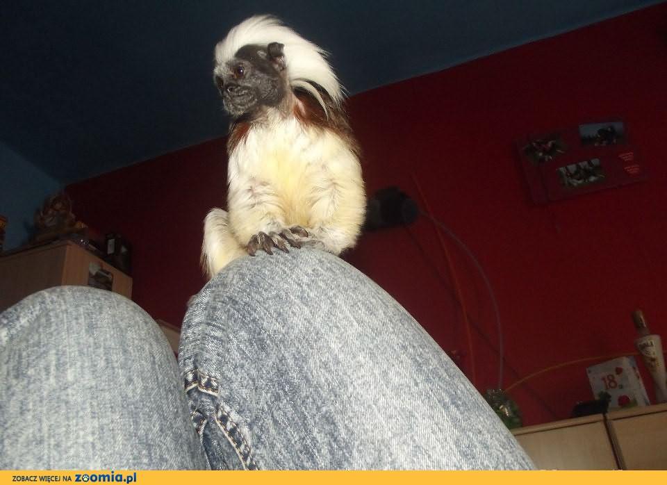 sprzedam małpe