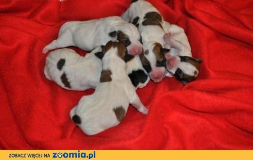 Jack Russell Terrier szczenięta lubelskie,  lubelskie Zamość