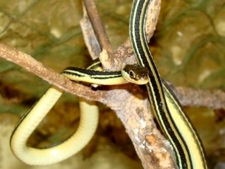 WĄŻ POŃCZOSZNIK ( Thamnophis sirtalis ) - Sklep Zoologiczny ZooWitek