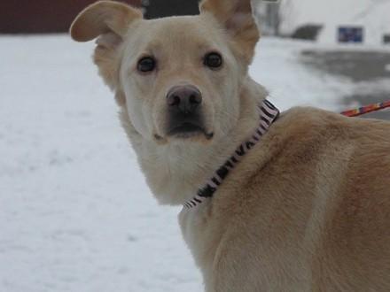 Dżeki  domowy  przyjazny  grzeczny - adoptuj super psa!