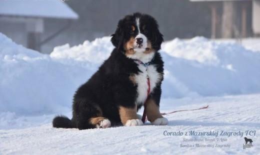Berneński Pies Pasterski ;#8211; szczenięta Z Mazurskiej Zagrody FCI/ZKwP   warmińsko-mazurskie Ełk