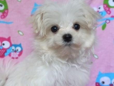 Ukochany Pies Maltańczyk - ogłoszenia z hodowli. Psy Maltańczyki / Zoomia  VO-44