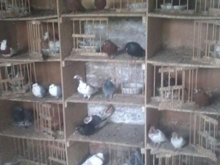 Przyjmę każde gołębie