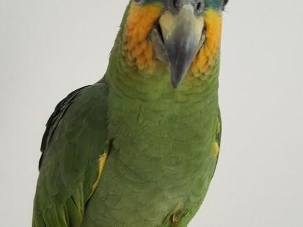 Papuga amazonka niebieskoczelna młoda ręcznie karmiona
