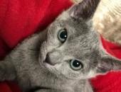Kocięta Rosyjskie Niebieskie z rodowodem