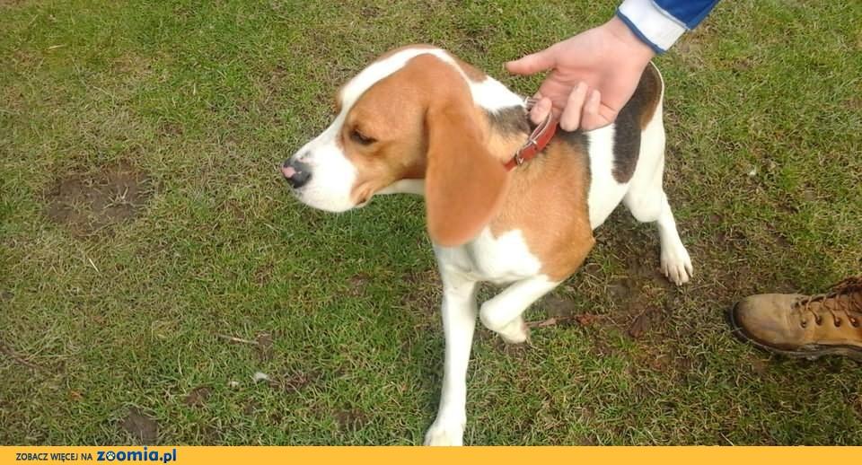 Beagle śliczna 2letnia suczka.