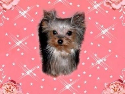 YORK yorkshire terrier!ELITARNE MINI MICRO CUDEŃKO- SUNIA XXXS! Kraków