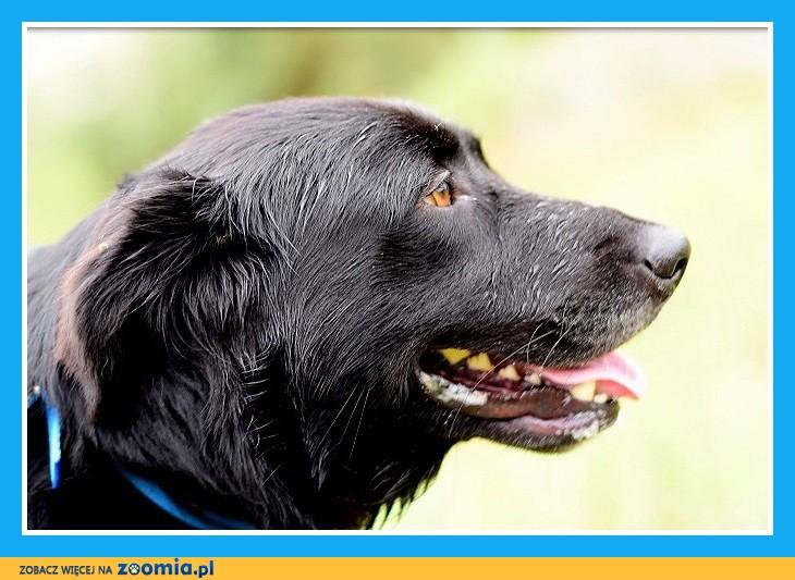 Duży 30 kg pies, mix retriever ,kontaktowy,energiczny,wesoły BOLT_Dam