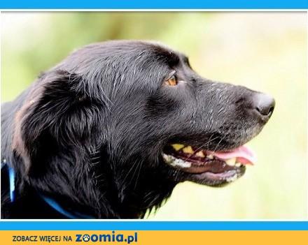 Duży 30 kg pies  mix retriever  kontaktowy energiczny wesoły BOLT_Dam