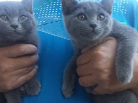 kotki rosyjskie niebieskie
