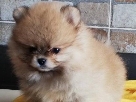 Pomeranian FCI