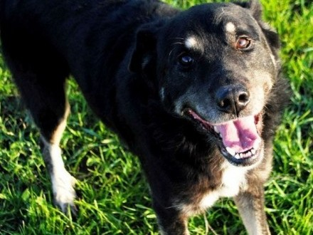 MIŚKI-wspaniały  wesoły  energiczny psiak wpatrzony w człowieka  szukamy domu