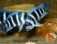 'Ryby Tanganika Cyphotilapia Frontosa Moba Blue Zaire