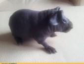 Sprzedam młode świnki morskie SKINNY