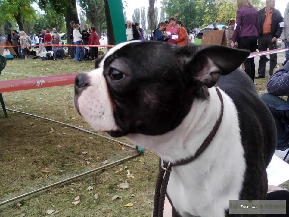 boston terrier doros u0141y pies z rodowodem fci  u00ab boston terrier  u00ab psy  u00ab archiwum    zoomia pl