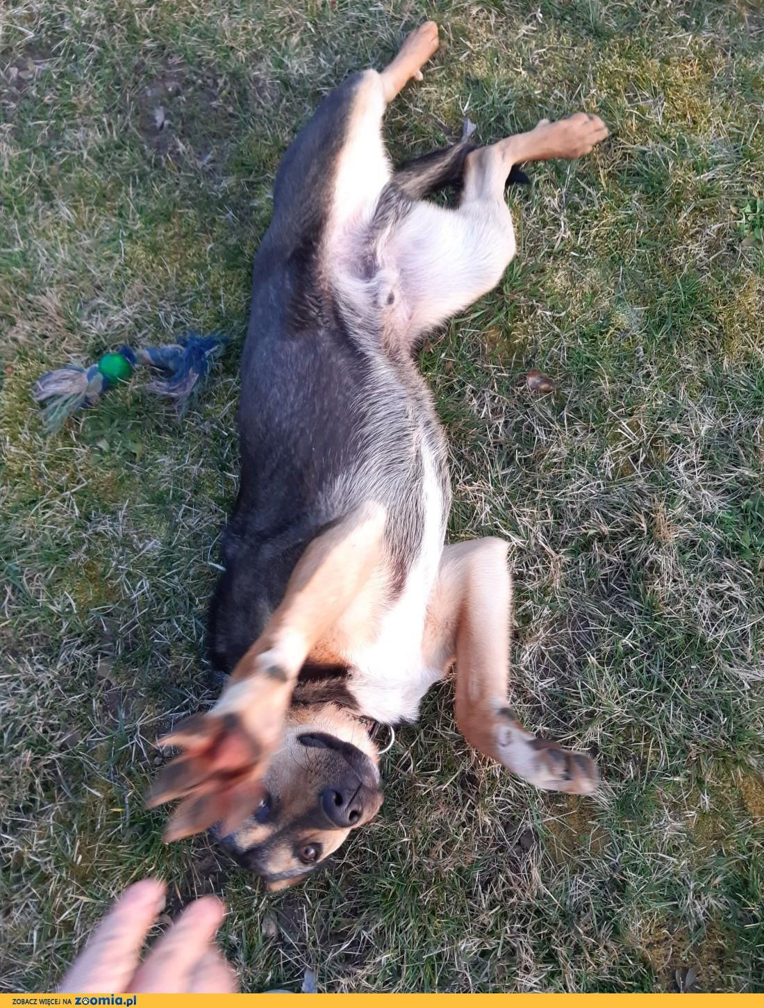 Gutek, roczny, sympatyczny pies ok 20 kg-owy szuka domu,  małopolskie Kraków