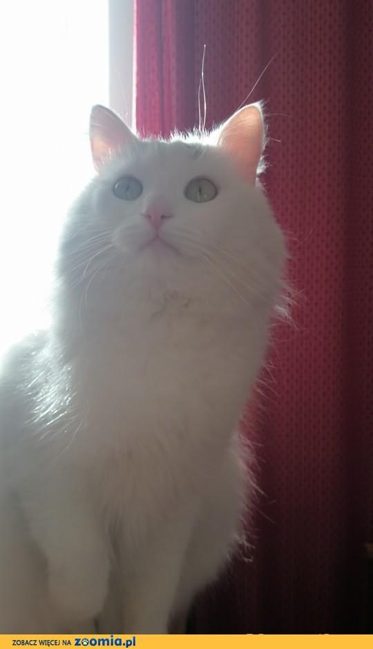 Oddam w dobre ręce kota - Turecki Van