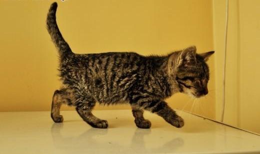 Młode kociaki szukają domów!   warmińsko-mazurskie Olsztyn