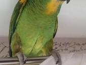 Papuga Amazonka,  śląskie Mysłowice