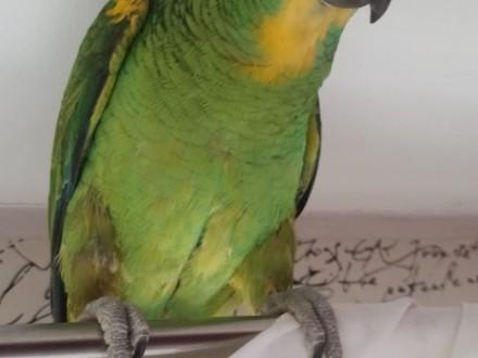 Papuga Amazonka   śląskie Mysłowice