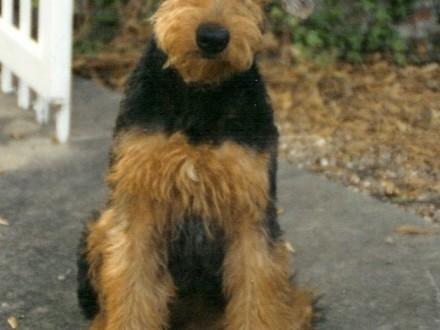 Airedale terrier 4 miesięczny