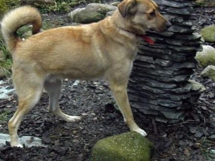 Maciek duży,  energiczny fajny pies,  dolnośląskie Wrocław