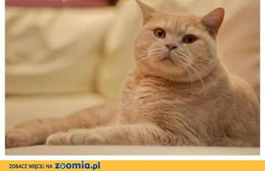 Kot brytyjski,  Koty brytyjskie cała Polska