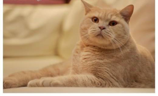 Kot brytyjski   Koty brytyjskie cała Polska